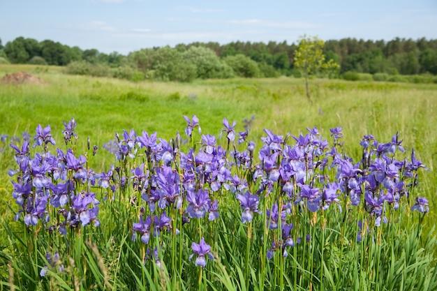 Planta de iris salvaje violeta