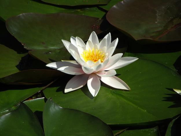 Planta de lirio de agua y flor flotando en el agua.
