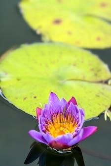 Planta de loto ubicada en bandung, indonesia.