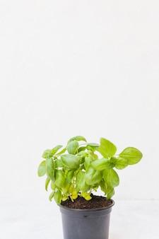 Planta en maceta de albahaca contra el fondo blanco