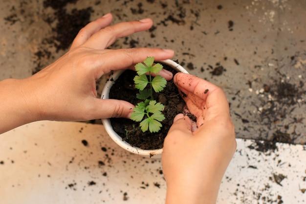 Una planta de mano femenina apio en el jardín de su casa