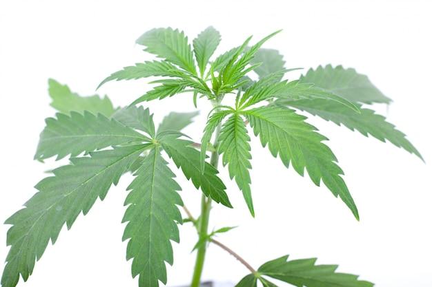 Planta de marihuana verde sobre un fondo blanco.