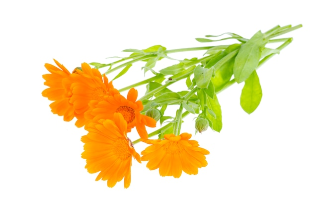 Planta medicinal con flores de naranja caléndula officinalis