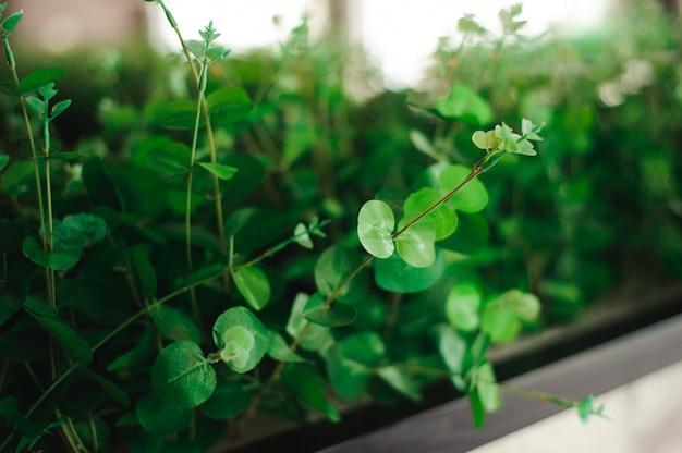 La planta o hierba verde fresca se planta en una maceta como decoración interior