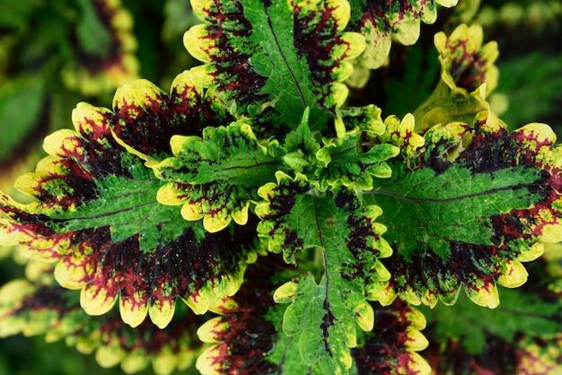 Planta ornamental de hoja verde morada y amarilla.