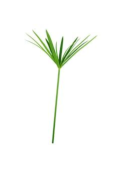 Planta de papiro verde aislada en blanco