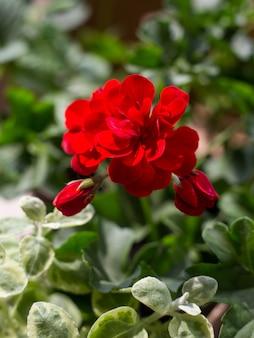 Planta de pelargonium con flores de color rojo oscuro, planta antiséptica natural que limpia el aire.