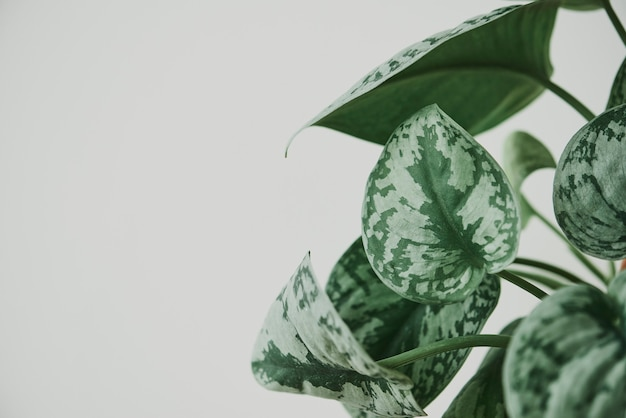 Planta de peperomia de sandía falsa sobre fondo gris claro