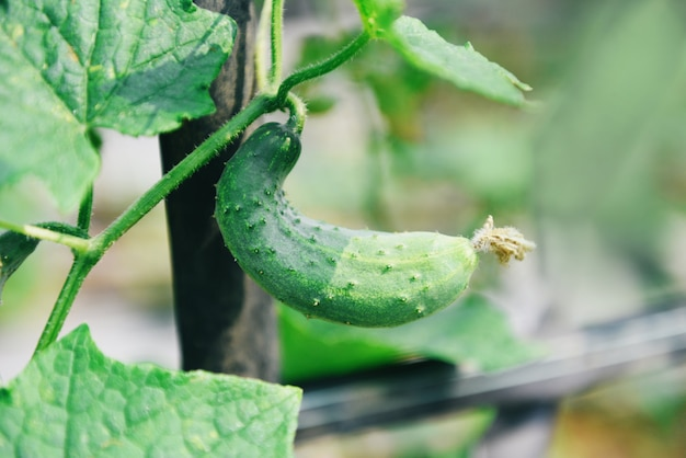 La planta del pepino en el jardín espera la cosecha. pepino orgánico fresco que crece y que cuelga en el árbol de la vid en la granja