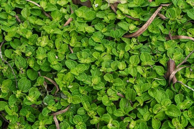 Planta de pilea en hábitat natural de selva tropical