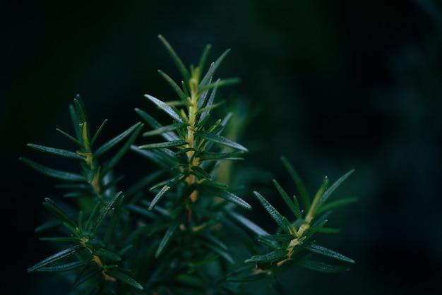 Planta de romero que crece en el jardín
