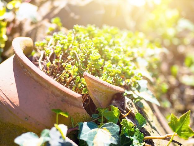 Planta sedum en una olla rota en el suelo. olla de terracota rota vieja para la decoración