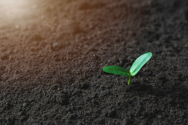 Planta de semillero y cultivo en suelo.
