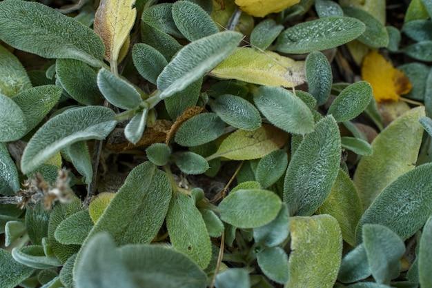 Planta de stachys byzantina en un cálido día soleado de otoño.