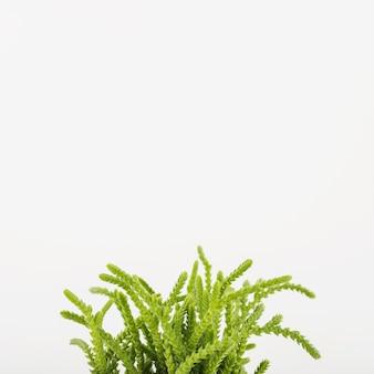Planta suculenta verde del primer