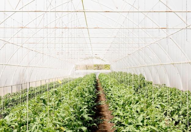 Planta de tomates cherry en invernadero
