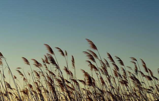 Planta de trigo con amanecer