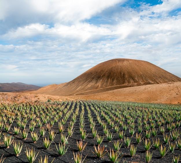 Plantación de aloe vera en fuerteventura, islas canarias, españa