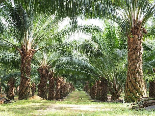 Plantación de árbol de aceite de palma en la granja