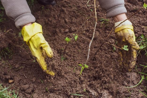 Plantación de brotes de frutas por el agricultor en la cama del jardín de la casa de campo. concepto de trabajo de temporada de jardín