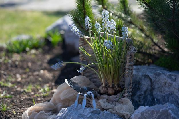Plantación de bulbos de flores de muscari en el jardín. restos en el país. cuidando la naturaleza