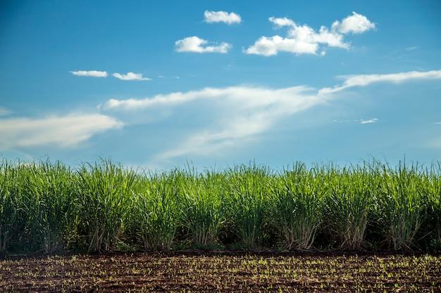 Plantación de caña de azúcar puesta de sol