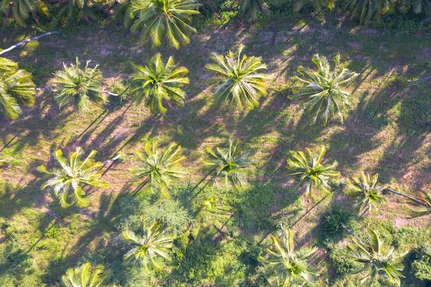 Plantación de coco campo verde agricultura industria agrícola en tailandia