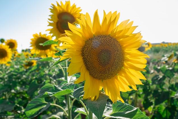 Plantación de girasol con la flor en primer plano y dándole los rayos del sol.