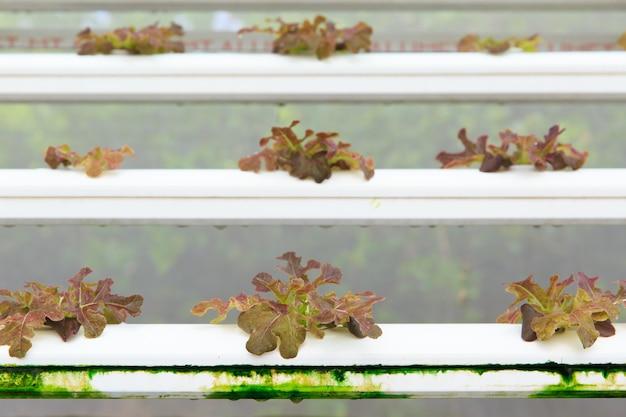 Plantación de hortalizas hidropónicas, cultivo sin suelo.