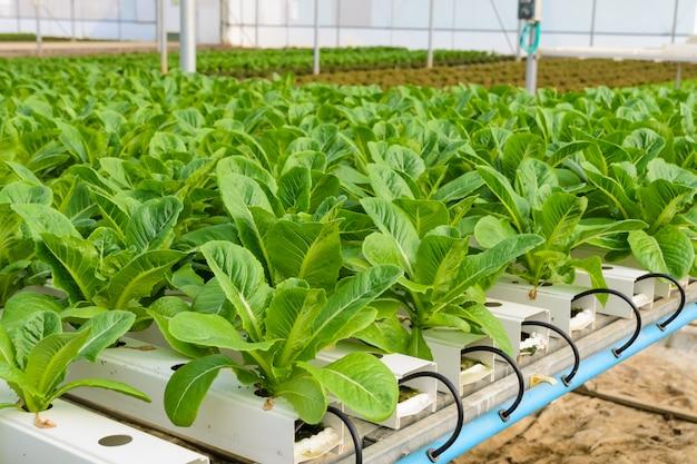 Plantación de hortalizas hidropónicas de lechuga romana
