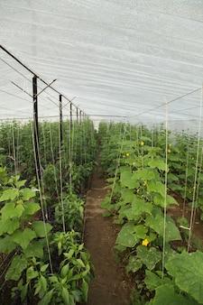 Plantación de hortalizas en invernadero