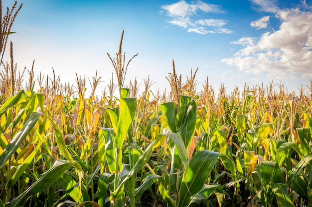 Plantación de maíz en un día soleado