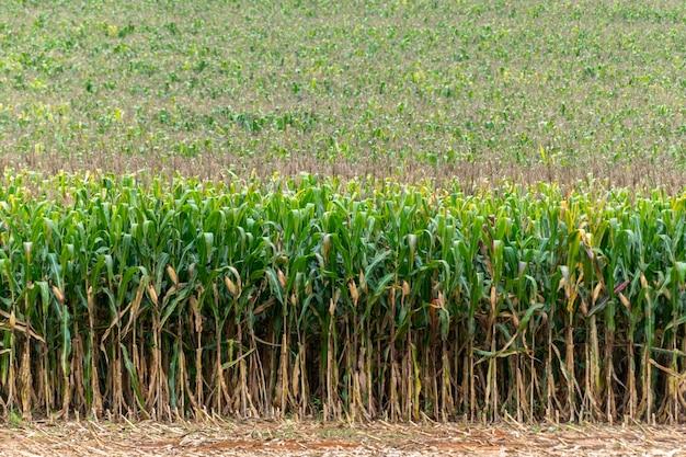 Plantación de maíz lista para la cosecha