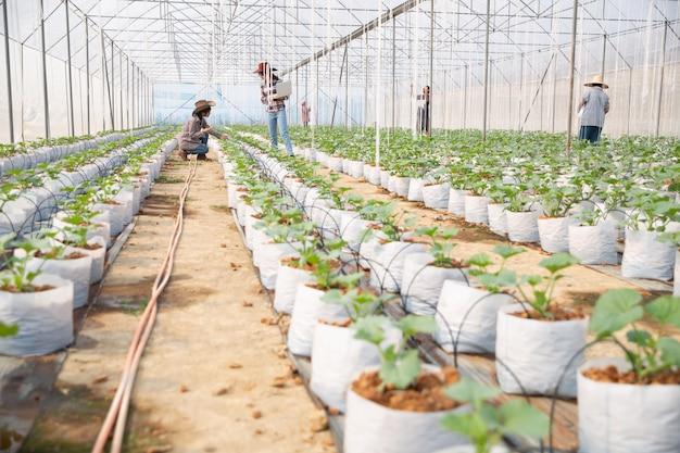 Plantación de melones con trabajadores.