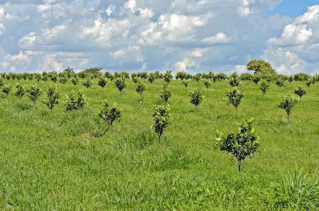 Plantación de naranjas con árboles jóvenes.