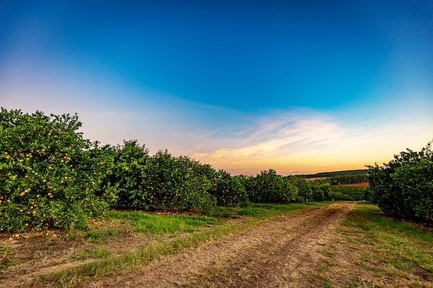Plantación de naranjos