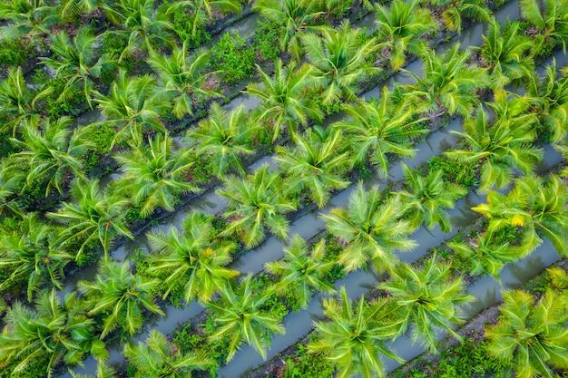 Plantación de palma aceitera o granja agrícola de la industria agrícola del campo de coco en tailandia