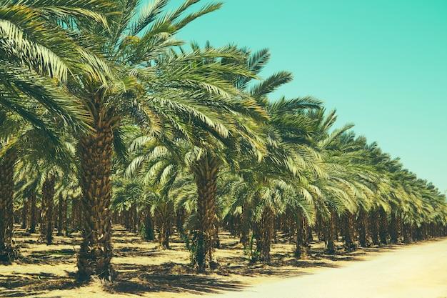 Plantación de palmeras datileras en israel. hermosa naturaleza