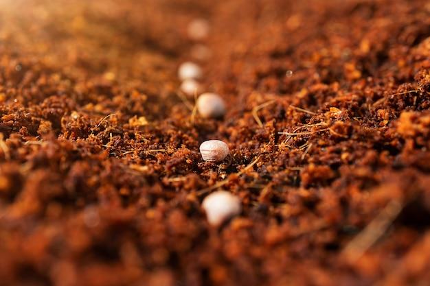 Plantación de semillas en primavera. semillas en un sustrato de coco.