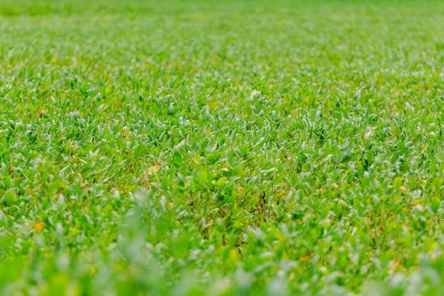 Plantación de soja en brasil. habas de soja con vainas