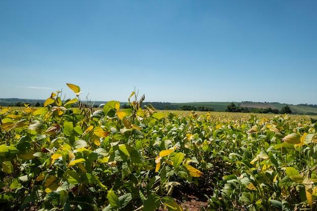 Plantación de soja en un día soleado en brasil.