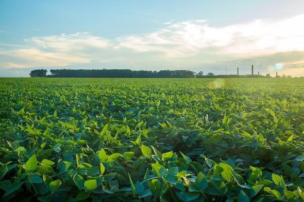Plantacion de soja