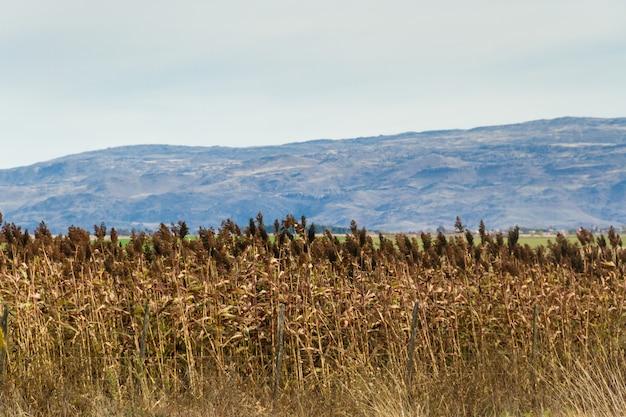 Plantación de sorgo en las estribaciones de las montañas.