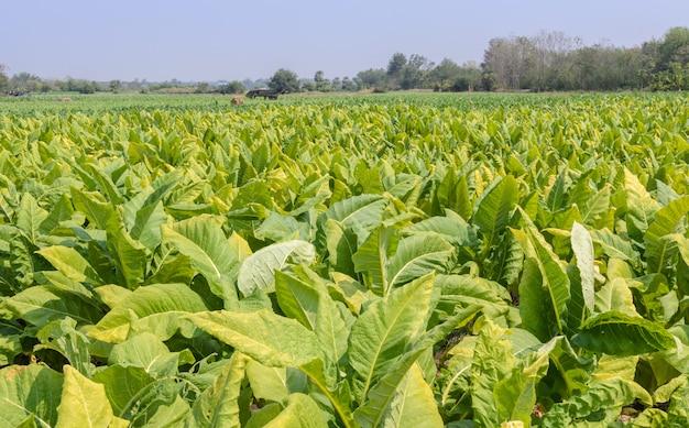 Plantación de tabaco en tailandia