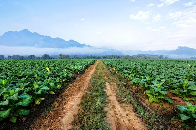 Plantación de tabaco en tierras de cultivo verde y creciente para cigarros y cigarrillos.