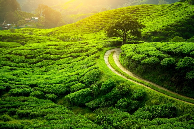 Plantación de té y árbol solitario en el atardecer. fondo de la naturaleza