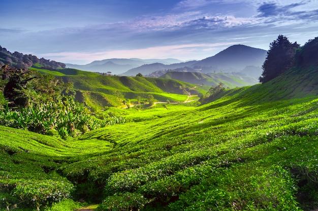 Plantación de té en el campo