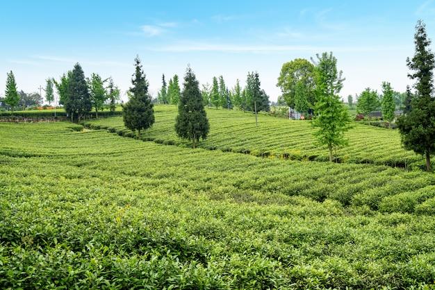 Plantación de té en la cima de la montaña.