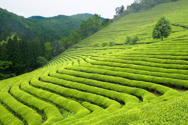 Plantación de té en corea del sur (los arbustos de color verde brillante son para el té verde).