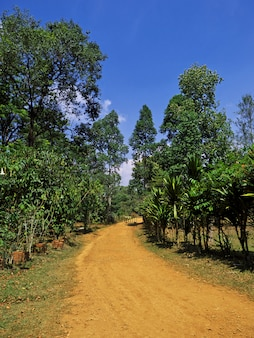 La plantación de té en laos.